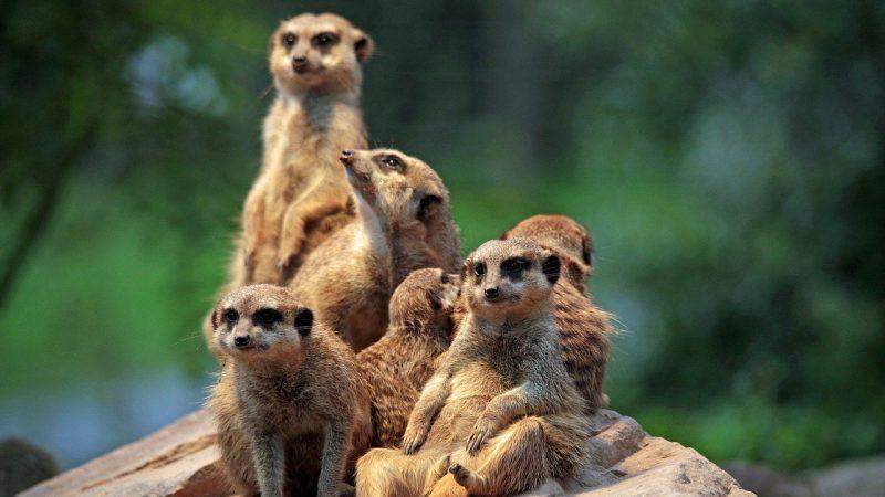 Adopter un suricate
