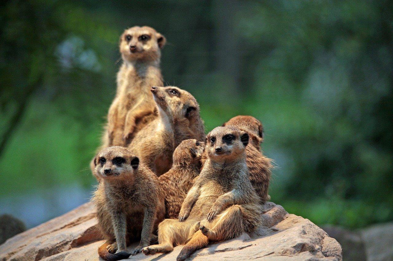 Adopter un suricate en France : est-ce possible ?
