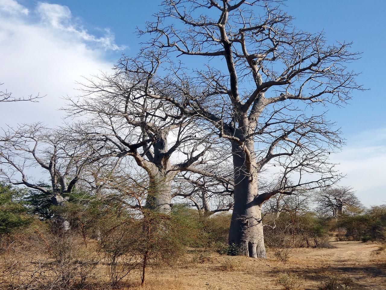 Comment cultiver un baobab en pot ?